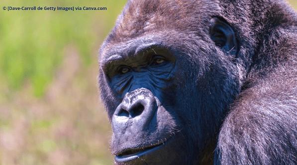 Trekking com Gorilas